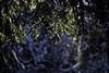 Nadel-Vorhang (Helmut Reichelt) Tags: nadeln vorhang fichte schnee sonne isarauen sonnig landschaft wildfluss naturschutzgebiet winter januar geretsried bayern bavaria deutschland germany leica leicam typ240 captureone10 colorefexpro4 leicasummilux50mmf14asph f14