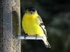 Jan15,2017 DSC09233 Lesser Goldfinch male (terrygray) Tags: finch