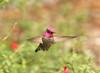 Full Flash - In the Stairway Garden (C-O) Tags: jan 02177 arboretum bird annas hummingbird inflight flashing nature arcadia ca