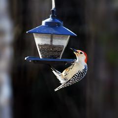 Red-bellied Woodpecker 2010 (hz536n/George Thomas) Tags: 2010 canon5d ef300mmf4lisusm stillwater spring copyright cs6 oklahoma nature feeder bird woodpecker redbellied redbelliedwoodpecker melanerpescarolinus picidae