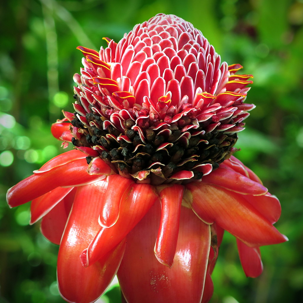 The worlds best photos of ginger and hilo flickr hive mind ginger flower etlingera elatior peterch51 tags hawaii bigisland ginger red flower izmirmasajfo