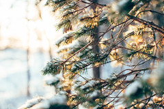 (DrowsyPotato) Tags: 50mm canon 12 f12 usm ef metabones a7rii nature bokeh bokehful bokehlicious depth field barr natur sweden snow winter träd tree trees alpha sony a7r2