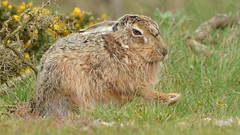 """Best Foot Forward"" (KHR Images) Tags: brownhare brown hare mammal wild closeup lepuseuropaeus havergateisland suffolk eastanglia rspb nikon d7100 kevinrobson khrimages"