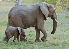 Mother and Child (Susan Roehl) Tags: southafrica2015 londolozigamereserve privatereserve southafrica nearkrugernationalpark elephants motherandchild animal mammal herbivore outdoors sueroehl photographictours naturalexposures pentaxk3 sigma150500mmlens takenfromjeep handheld ngc