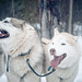 Dog Sledding in Prince George British Columbia
