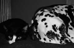 Pals with scowls. (Jocelyn Bassler) Tags: dog pets film cat quincy top20bw top20animalpix jocelyn dalmatian percy jocie ccc30 jocieposse