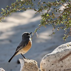Littoral Rock-Thrush (Pseudocossyphus imerinus erythronotus), male (danielguip) Tags: bird interestingness wildlife top10 madagascar interesting1 littoralrockthrush pseudocossyphusimerinuserythronotus pseudocossyphus pseudocossyphusimerinus