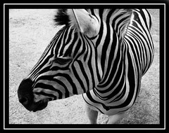 Sharing Secrets (Zulpha) Tags: 2005 africa shadow wild summer portrait bw horse sun white black eye beautiful smile face field animal tag3 mystery taggedout digital photoshop mouth painting hair southafrica lost outdoors effects nose happy one countryside amazing bush eyes sand warm tag2 alone tag1 looking close cheek respect legs sweet farm stripes gorgeous country touch leg border innocent january fringe capetown ps lips whiskers chilling tired ear zebra stare rest curious awake lovely left flikr contemplative deepinthought unforgettable edit snout mane discover e995 nikone995 100p zulpha