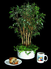Ficus benjamina - 7 1/2 years old