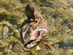 A bathing mallard duck female! (rotraud_71 away again ~) Tags: water reflections austria duck stones feathers wolfgangsee salzkammergut watermovement abigfave