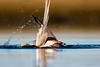 Common Tern bathing (Greg Gard) Tags: 5dsr 600mm greggard gregorygard sternahirundo adult bath bathing beach behavior bird birdphotography birding canon commontern greggardcom nature shorebirds takingbath water waterdroplets wildlife cote splash splashing