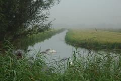 Zwanen in de ochtendmist (ArthurPijpers) Tags: hitland zwanen nieuwerkerkaandenijssel swans mist fog nature