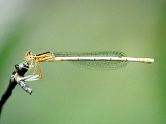 Southern White-legged Damselfly, Mas de l'Ilon, 28-May-00 (Dave Appleton) Tags: southernwhiteleggeddamselfly whiteleggeddamselfly southern whitelegged damselfly dragonfly insect insects masdelilon arles france dragonflies