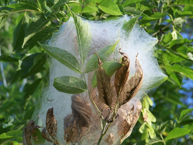 Tent Caterpillar's home..