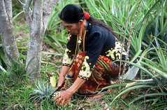 Pineapple harvest-Kelabit Highland (BoazImages) Tags: travel woman island colorful harvest forsakenpeople tribal pineapple sarawak malaysia borneo agriculture tribe indigenous earing kelabit travelphotography kelabithighland