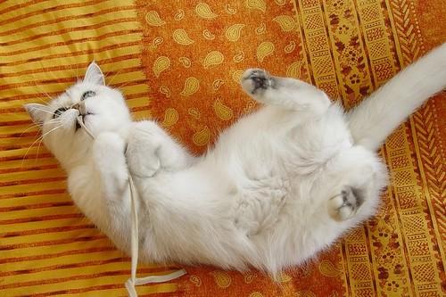 persian cat portraits