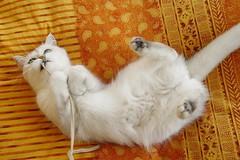 Lua fighting! (_Xti_) Tags: gato gatos cat cats exotic persian exoticcat exoticcats lua ling katzen gatto gatti kätzchen méo kitty furry cutecat feline felines gata gatas chat silver golden sorthair pet pets eyes kaz ket mau exoticsorthair fantastic