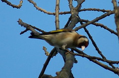 Goldfinch by Surrey Water