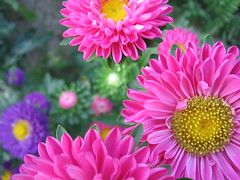 Shades of Summer (jasohill) Tags: 2005 pink flowers yellow japan 1025fav japanese saveme deleteme10 best backgrounds  a70 canona70  senmaya touhoku japantimes views500 impressedbeauty