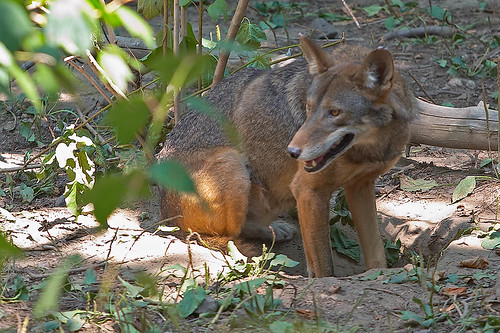 The red wolf is generally