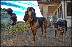 Beau and Buddy (shadowplay) Tags: beau buddy ranchito aguadulce dogs