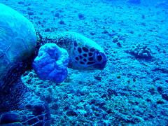 #460 honu = Hawaiian green sea turtle () (Nemo's great uncle) Tags: sea green geotagged underwater turtle scuba diving hawaii  hawaiian hi honu cheloniamydas chelonia mydas waianae  hawaiiangreenseaturtle  tortueverte suppenschildkrte  suppenschildkrote geo:lat=21448722 geo:lon=158196599