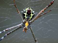 IMG_1553 (Sunil Kashikar) Tags: sunil kashikar canon powershot g6 macro closer natural spider backyard india insects
