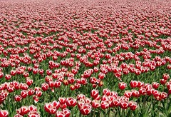 Endless Tulips (DoubleGrande) Tags: topf25 topv111 topv555 topv333 tulips deleteme10 topc50 saveme9 tulip mostinteresting topv777 skagitvalley shakeme doublegrande