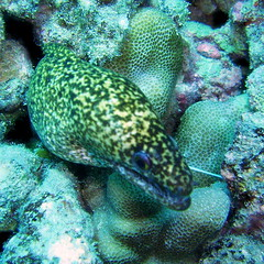 #374 undulated moray (ナミウツボ)
