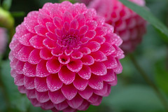 Pink Droplets (Eric Hunt.) Tags: dahlia asteraceae flower pink droplet water drop 1600x1200 macro d70 goldengatepark top20flower topf25 100v10f