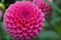 Pink Droplets (Eric Hunt.) Tags: dahlia asteraceae flower pink droplet water drop 1600x1200 macro d70 goldengatepark top20flower topf25 100v10f