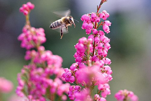Bee In Flight (BIF)