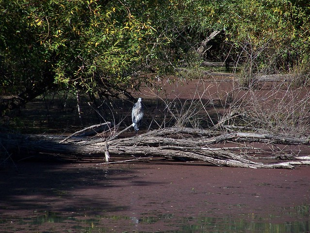Heron on a fallen tree