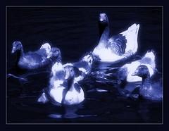 midnight swim (Cilest) Tags: light water animals night licht wasser cilest nacht kurt ducks enten