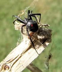 black widow mother top (zen) Tags: 20050917 spiders nature web spidersilk latrodectusmactans latrodectus weavers cobweb stick