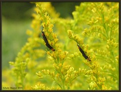 Love Bugs on Goldenrod (Old Shoe Woman) Tags: usa yellow georgia seasons goldenrod insects southgeorgia lovebugs dilosept05 dilosep05 georgiaanimal coastalplainanimal