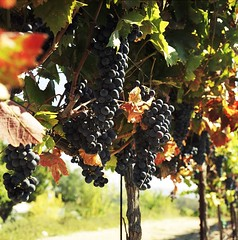 Zinfandel Grapes, Central Coast, California (artandscience) Tags: grapes zinfandel pasorobles wine slo rolleiflex ektacolor viticulture