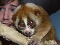 loris likes the spotlight (underwhelmer) Tags: slow scr loris
