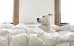 She's so lovely... (jclutter) Tags: dog sunlight white bed top20animalpix pitbull putney jclutter