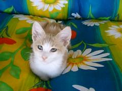 Şeftali[kitten times] (Marchnwe) Tags: kitten