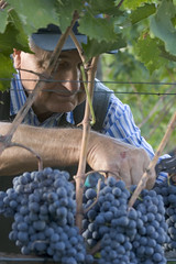 grapes2 (Protagonist) Tags: tuscany siena harvest italy grapes wine saveme saveme4 deleteme10