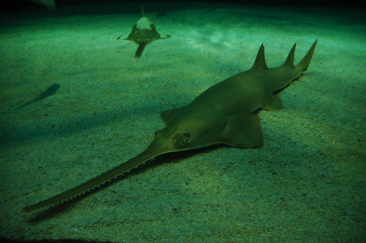 Рыба-пила (лат. Pristidae), фото рыбы пилы: www.zoopicture.ru/ryba-pila
