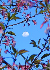 (rob511) Tags: pink blue sky moon color green leaves cherry branches cherryblossom blendedexposure