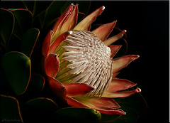 King Protea. (Brenda-Starr) Tags: flowers plants nature ilovenature flora bravo kitlens efs1855mm flowerthemes canon350d canonrebel kingprotea excellence proteacynaroides proteaceae bicolour allrightsreserved explore140oct142005