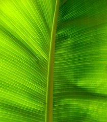 (photo)   (synthesis) (joaobambu) Tags: 2005 light brazil stilllife plant macro verde green texture nature topf25 lines topv111 brasil catchycolors ilovenature living leaf interestingness interesting topv555 topv333 published pattern miracle topv1111 natureza stock topv999 bestviewedlarge frombelow vert banana lookingup bathed viewlarge topv777 backlit grn chacara topf15 photosynthesis pictre imagekind