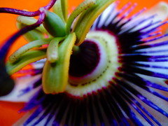 Passion   flower (ANDI2..) Tags: passionflower gutentag dedication macro flower altruism appreciation passiflora wonder ilovenature nature 100v10f