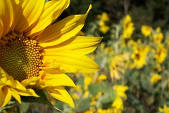 Sunflowers at Black Mountain, NC (Gail S) Tags: blackmountainnc sunflowers ilovenature yellow dof blueridgemountainsinnc rateme17 rateme28 rateme36 rateme48 rateme57 kodakdx7630zoom topv111