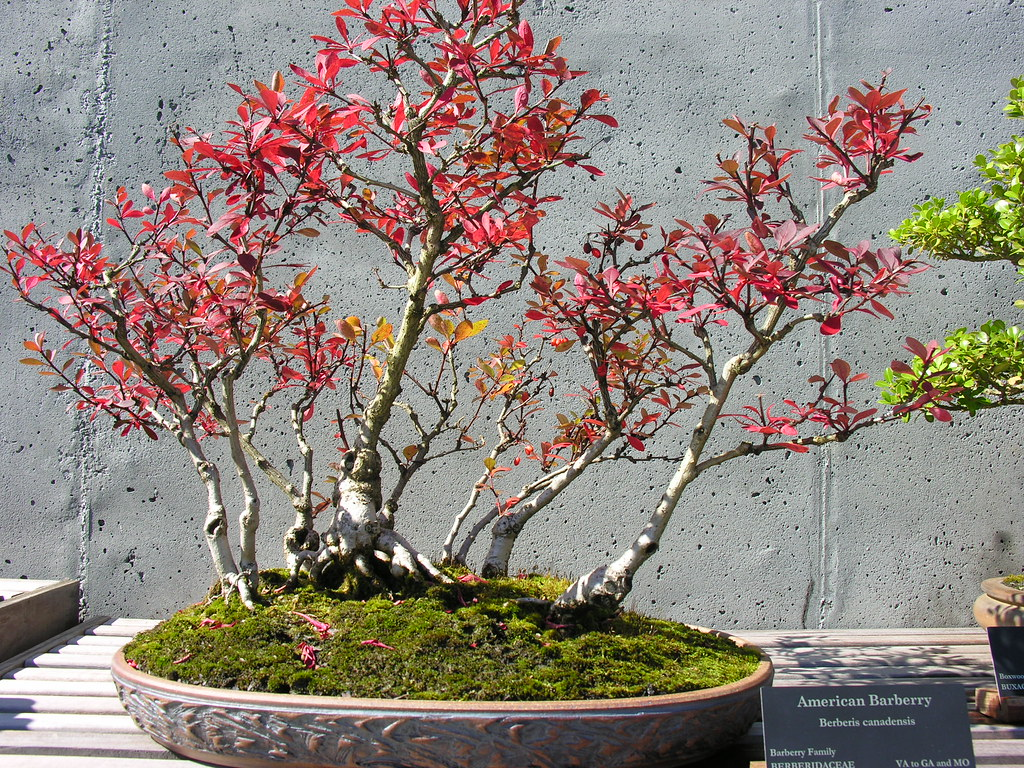 American Barberry Bonsai.
