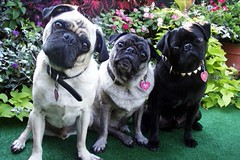 Garden Pugs (Finstr) Tags: dog pet pets dogs animals brooklyn garden interestingness kirby interestingness1 pug hund mostinteresting pugs mop carlinos sheehan mops carlino rooftopgarden finster bonz mikesheehan