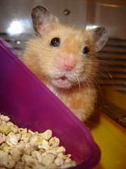 """Did you call me?"" *Kumanoko* (Seattle Roll) Tags: pet pets animal animals golden hamster syrian ゴールデンハムスター キンクマ"